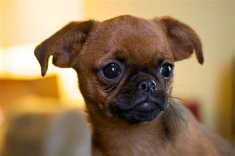 small breed puppies small haired breeds breeds small hair breeds picture