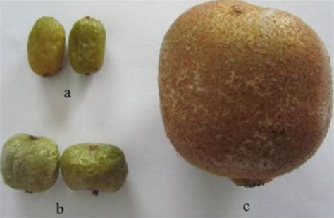 fruit kiwi kiwi fruits nutrition facts and health benefits green