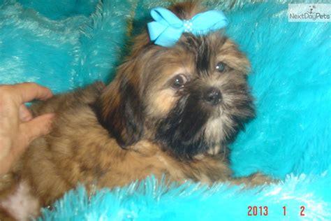 brown shih tzu for sale shih tzu puppy for sale near sioux falls se sd south dakota ccf808cc a9d1