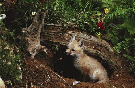 fox in garden how to get rid of it