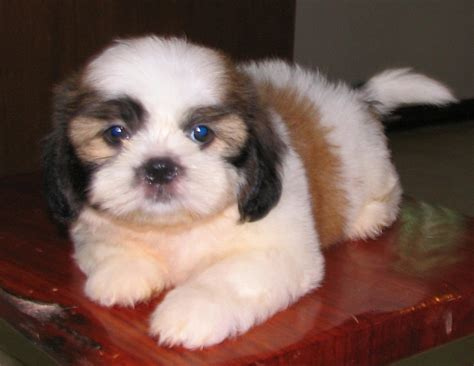 shih tzu 2 months shih tzu puppies 2 month in phuket for sale sw coast phuket region pets