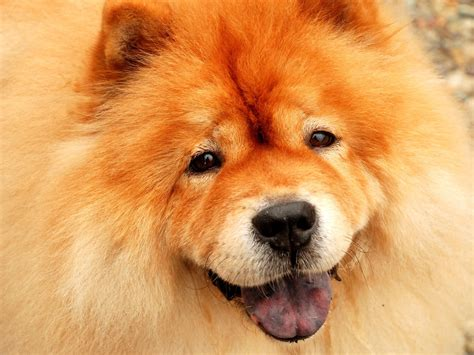 chow dogs our beautiful world chow chow dogs