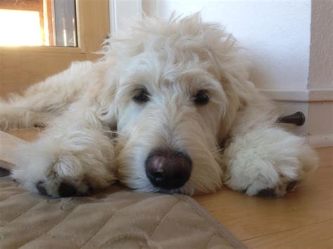 english goldendoodle standard english cream goldendoodles in hoobly classifieds