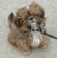 shih tzu spots dogs shih tzu bichon shichon and other blends of on