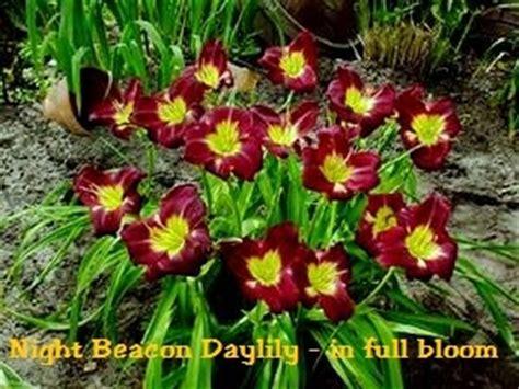 night beacon daylily hemerocallis
