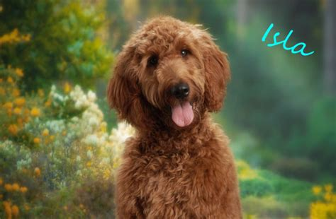 irish setter poodle mix irish doodle irish setter and poodle mix