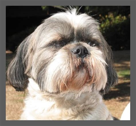 lhasa apso pug mix new page 1 www furbabyrescue