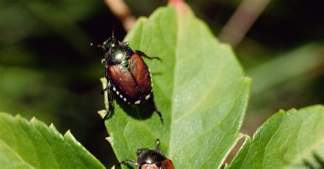 httpswwwapaldendacomkillkill grubs naturallyhtml how to kill leaf beetles ehow uk