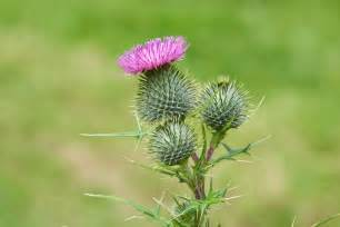 Zones Gardening - bull thistle removal how to get rid of bull thistle weeds