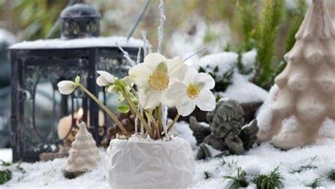 die christrose erfreut uns im winter mit ihren weissen