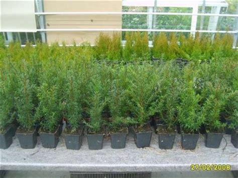 Pflanzen Bestellen 1016 by Taxus Eiben G 252 Nstig Bestellen