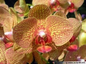 phalaenopsis orchid 233 e papillon conseils de culture