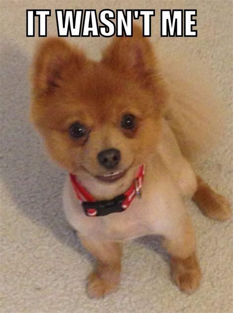 Pomeranian Meme - pomeranian meme itwasntme guilty cute smilingpuppy