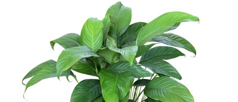 Houseplants by The Best Houseplants To Purify Indoor Air The Honest