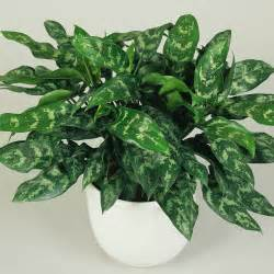 plants for low light dumb cane dieffenbachia best low light houseplants sunset