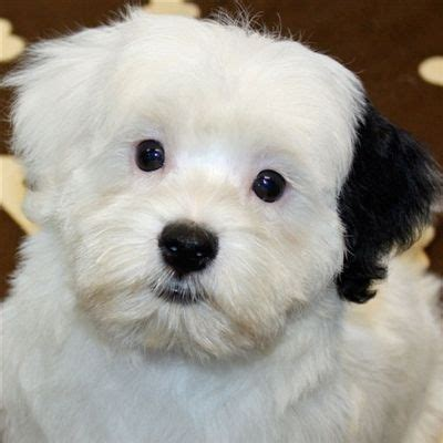 havanese puppies for sale florida havanese puppies for sale florida breeds picture