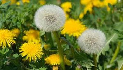 dandelion facts 10 facts about dandelions fact file