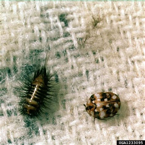 carpet beetles in couch what are these insects vbulletin community forum