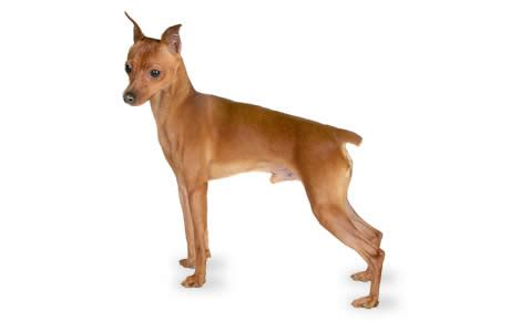 Miniature Pinscher Dog Breed Information, Pictures