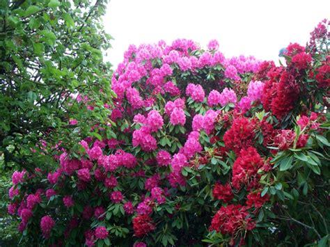 Rhododendron Giftig by Giftige Pflanzen In Ihrer Umgebung Kennen Sie Diese