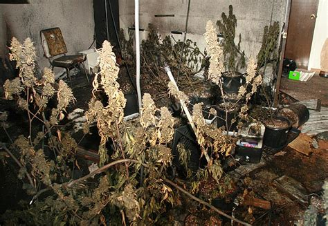 marijuana grow room marijuana grow room pics