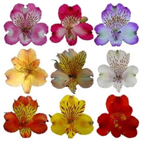 alstroemeria colors wholesale bulk discount alstroemeria peruvian tiger