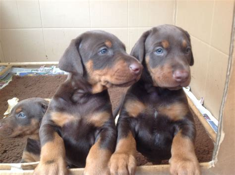 doberman puppies for sale in doberman puppies for sale jpg breeds picture