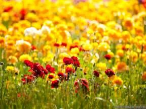 Carlsbad Flower - flower field wallpapers crazy frankenstein