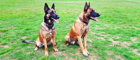 belgian malinois puppy price belgian malinois puppy for sale about malinois breed