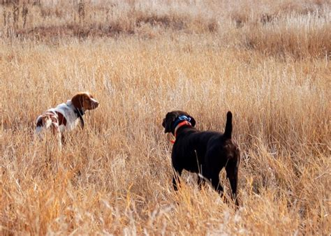 best bird dogs bird breeds best gun dogs