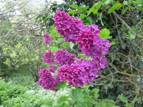 varietà fiori variet 224 fiori syringa il mitico fiore di lill 224
