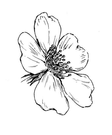 rosa multiflora rambler rose go botany