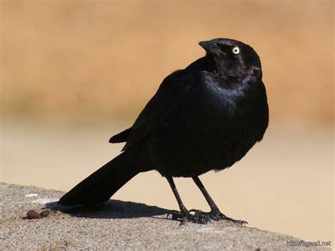 wallpaper black bird blackbird wallpaper background wallpaper hd
