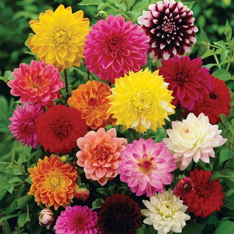 Jual Bibit Bunga Dahlia jual beli bibit bunga dahlia unwins mix flower