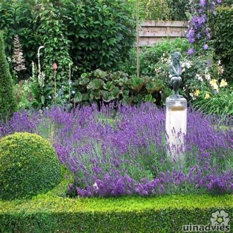 bloemen kalken lavendel lavandula angustifolia lavendel verzorging in