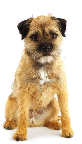 border terrier puppies border terrier to earth dogs monthly