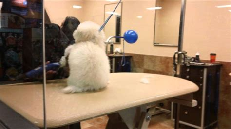 petsmart grooming zoey the poodle gets groomed at a petsmart grooming salon for the 1st time
