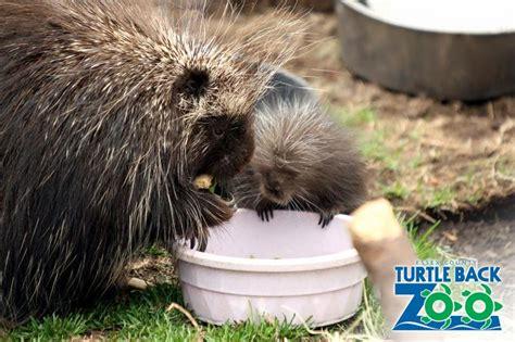 groundhog day turtle back zoo porcupine zooborns