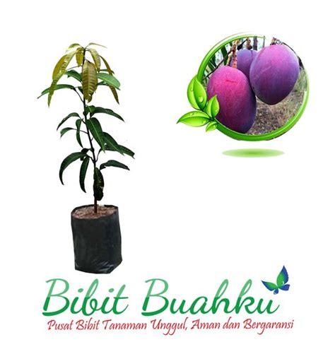 Bibit Buah Mangga Irwin bibit buah mangga irwin unggul aman dan bergaransi