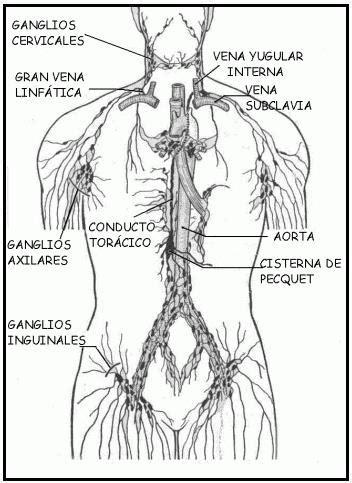 cadenas ganglionares cara drenaje linf 225 tico manual l equilibri del cos