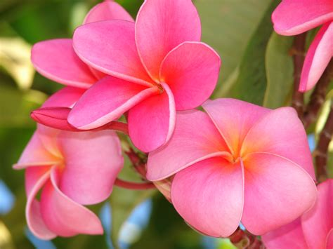 plumeria photos plumeria joy studio design gallery photo