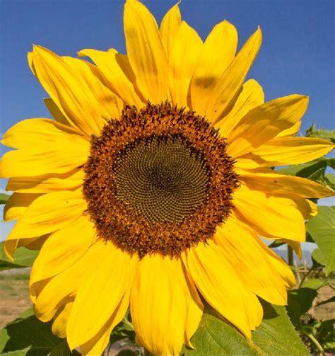 black sunflower seeds for deer peredovik black sunflower seeds one pound