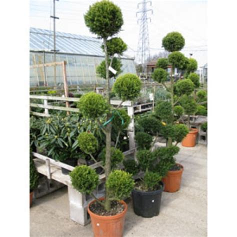 Green Foliage Outdoor Plants - buy cheap pom pom trees online topiary trees for sale order topiary plants online