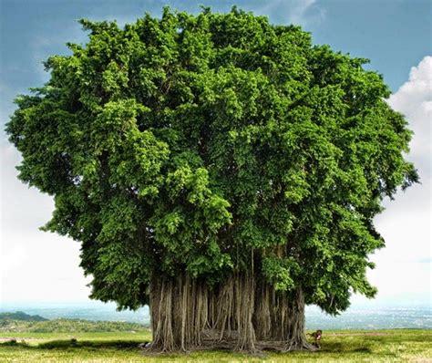 wallpaper akar daun 6 filosofi pohon beringin biar jadi pribadi yang lebih tangguh