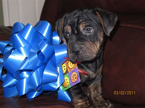 rottweiler shar pei mix shar pei dec 30 2012 11 42 14 picture gallery