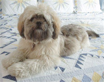 lhasa apso cross pomeranian 35 shih tzu cross breeds you to see to believe