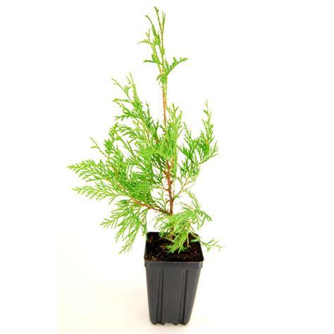 Narrow Kitchen Ideas american arborvitae white cedar potted evergreen tree