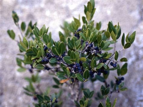 pianta di mirto in vaso mirto pianta frutteto coltivazione mirto