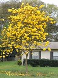 Tree with yellow flowers in florida gallery flower decoration ideas best 25 ideas about yellow tree find what youll love florida flowering trees with yellow flowers mightylinksfo Choice Image