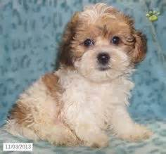 malshi puppies for sale in nc 1000 images about malshi puppies on maltese puppys and shih tzu